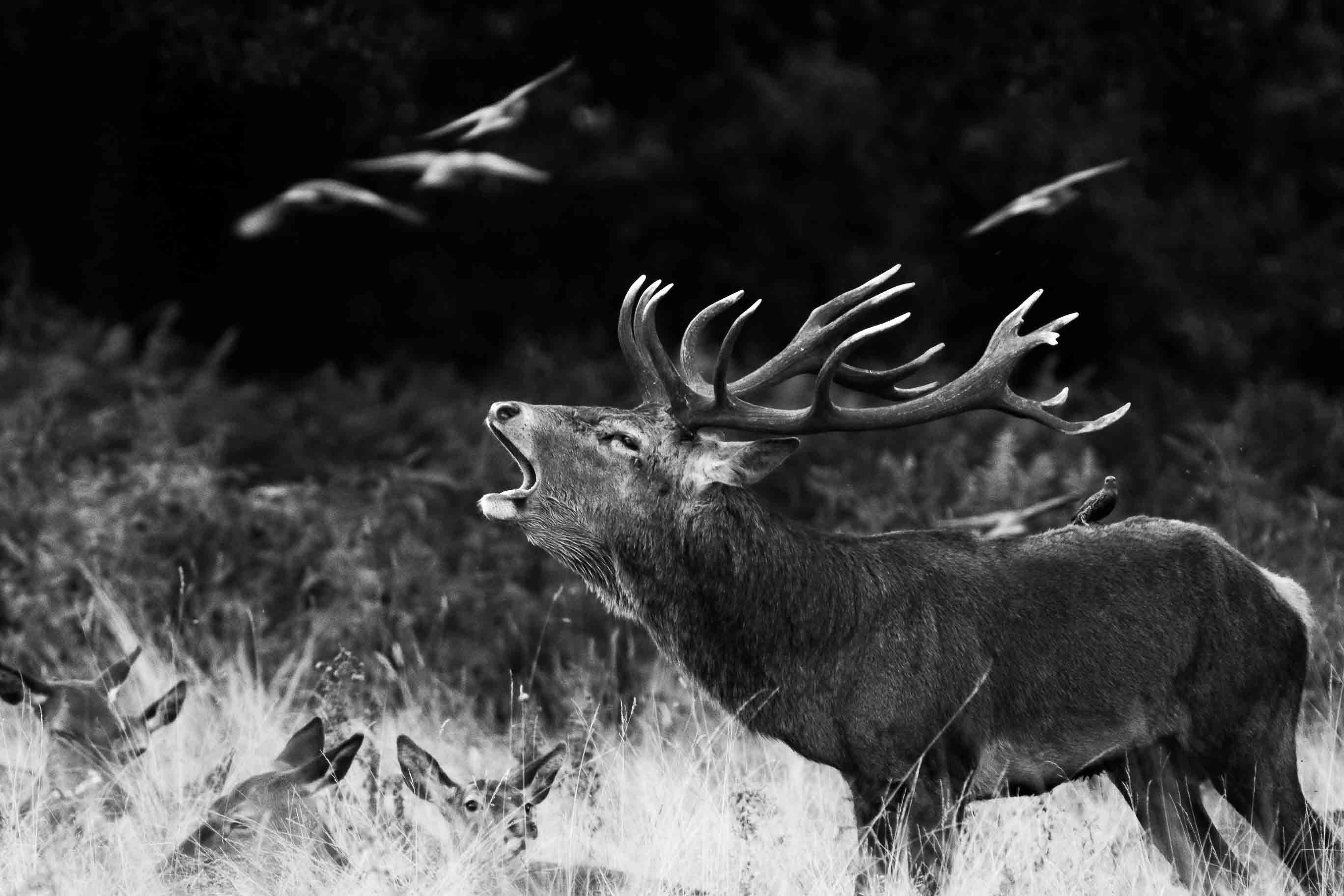 A Stag Among Birds
