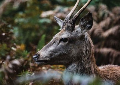 Profile of a Young Buck